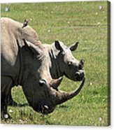 White Rhino Mother And Calf Acrylic Print