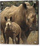 White Rhinoceros And Baby Lewa Kenya Acrylic Print