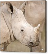 White Rhinoceros Calf Acrylic Print by Science Photo Library