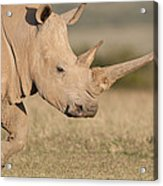 White Rhinoceros Kenya Acrylic Print