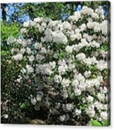 White Rhododendron Blooming In The Garden Acrylic Print