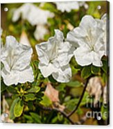 White Rhododendron Flowers In Bloom. Acrylic Print