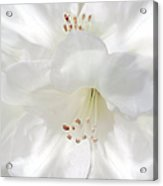 White Rhododendron Flowers Acrylic Print