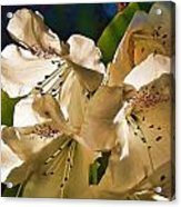 White Rhododendron Acrylic Print