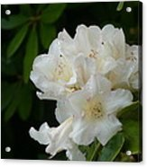 White Rhododendron With Tears Acrylic Print