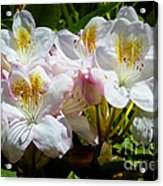 White Rhododendron In Sunlight Acrylic Print