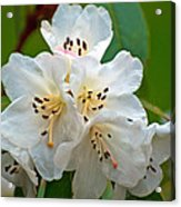 White Rhododendrons Acrylic Print