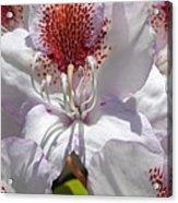 White Rhododrendon Acrylic Print
