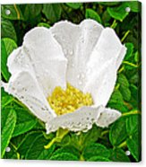 White Rose At Norris Point In Gros Morne National Park-newfoundland  Acrylic Print