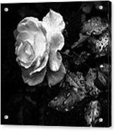 White Rose Full Bloom Acrylic Print by Darryl Dalton