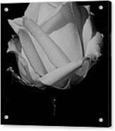 White Rose Acrylic Print