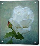 White Rose On Blue Acrylic Print