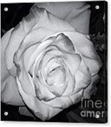 White Rose Passion Impression Acrylic Print
