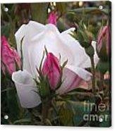White Rose Pink Buds Acrylic Print