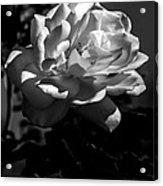 White Rose Acrylic Print by Robert Bales
