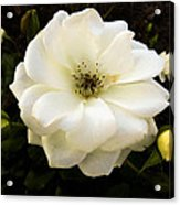 White Rose With Buds Acrylic Print