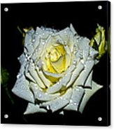 White Rose With Dew Acrylic Print
