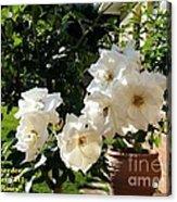 White Roses H A Acrylic Print