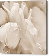 White Roses Soft Brown Acrylic Print