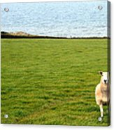 White Sheep In A Green Field By The Sea Acrylic Print