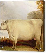 White Short-horned Cow In A Landscape Acrylic Print