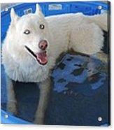 White Siberian Husky In Pool Acrylic Print