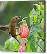 White-sided Flowerpiercer Acrylic Print