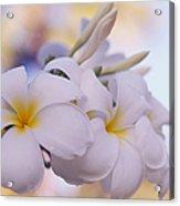 White Snow Frangipani Flowers Acrylic Print