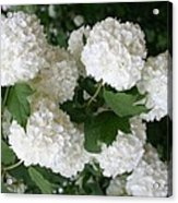 White Snowball Bush Acrylic Print