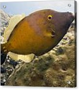 White Spotted Filefish Acrylic Print