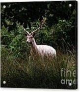 White Stag Acrylic Print