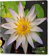 White Star Lotus Acrylic Print