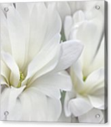 White Star Magnolia Flowers Acrylic Print