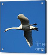 White Swan In Flight Acrylic Print