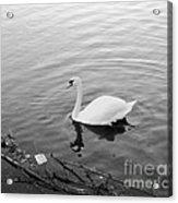 White Swan Solitary Acrylic Print