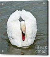 White Swan Swimming Acrylic Print