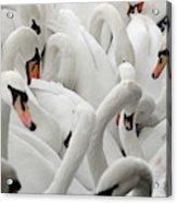 White Swans Acrylic Print