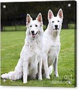 White Swiss Shepherd Dogs Acrylic Print