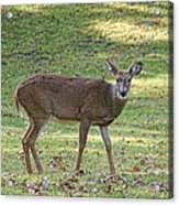 White Tail Deer Acrylic Print