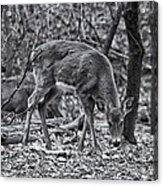 White-tail Deer Acrylic Print