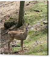 White Tail Deer Acrylic Print