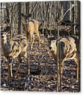 White Tailed Deer 2 Acrylic Print