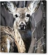 White-tailed Deer Acrylic Print