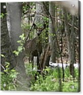 White Tailed Deer Encounter  Acrylic Print