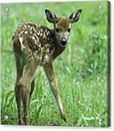 White-tailed Deer Fawn Meadow Acrylic Print
