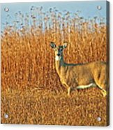 White Tailed Deer In Morning Light Acrylic Print