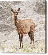 White Tailed Deer In Snow Acrylic Print