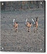 White Tailed Deer Running Acrylic Print
