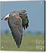 White-tailed Hawk Acrylic Print