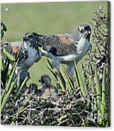 White-tailed Hawk Family Acrylic Print